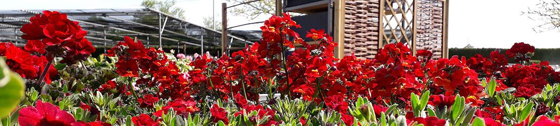 Rote Blumen in der Baumschule Dietrich