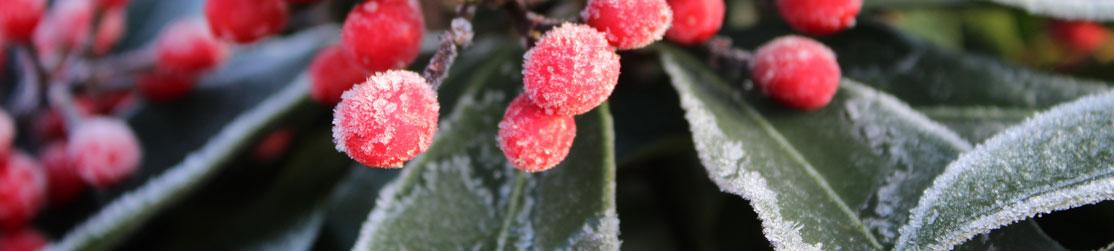 Gefrorene Pflanze
